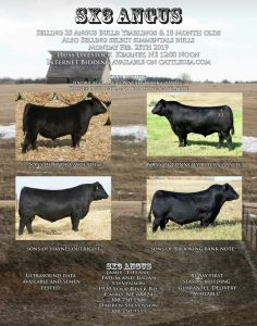Bred Heifer & Cows Auction